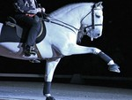 Lipizzan Performing The Spanish Walk