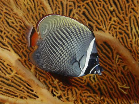 Underwater - fish, angel fish, underwater, ocean, coral
