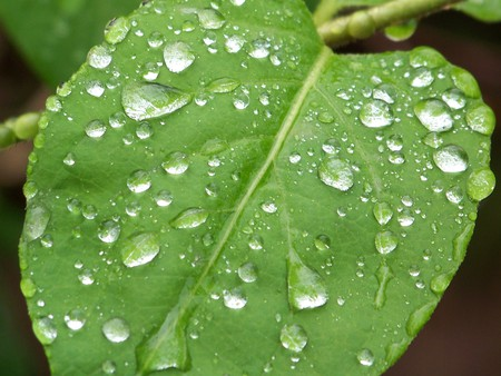 Raindrops on a Forest Leaf - rain, leaf, green, raindrops