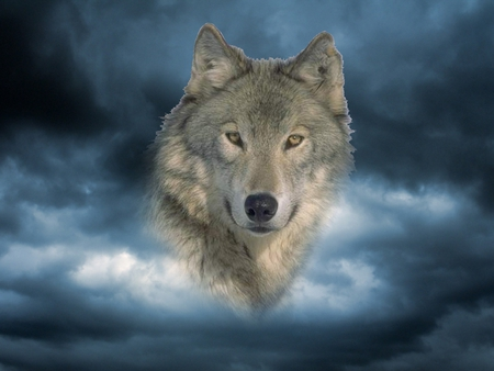 Timber face - wolf wllpaper, beautiful, friendship, mythical, lone wolf, majestic, pack, howl, wolf pack, snow, grey, solitude, howling, lobo, grey wolf, dog, wolves, canine, winter, wolf, spirit