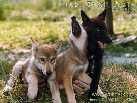 Wolf Puppies Wallpaper
