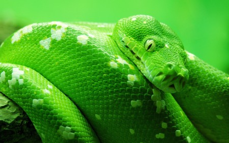 Green World - green, snake, reptile, beautiful, nature, animal