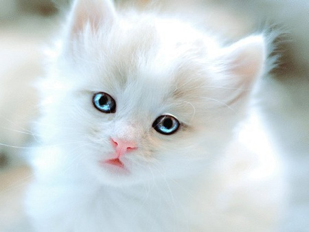 Adorable Kitten - white cat, cat, kitten, adorable, cute, kitty, white, blue eyes