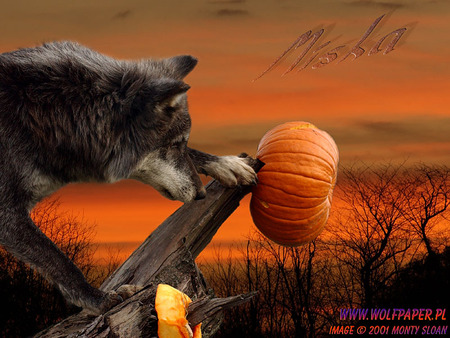 miska with a pumpkin timber wolf halloween sunset nature grey wolf - Wolf Halloween