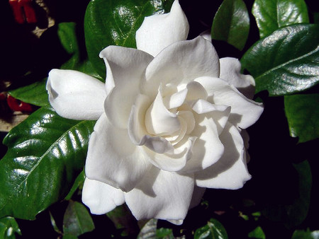 white gardenia f  flowers  nature background wallpapers on, Beautiful flower