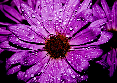 Drops... - flowers, petals, purple, beautiful, nature, drops, lovely, beauty