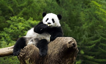 Comfy One - animals, comfortable, tree, panda, bears