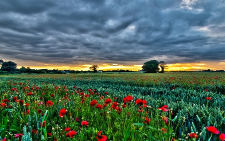 Poppies Field - field, clouds, storm, peaceful, stormy, other, nature, trees, house, view, lovely, grass, poppies, poppy, colors, houses, red, sunset, fields, beauty, tree, colorful, beautiful, flowers, green, pretty, splendor, sky, poppies field