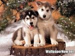 ADORABLE BABY SIBERIAN HUSKIES