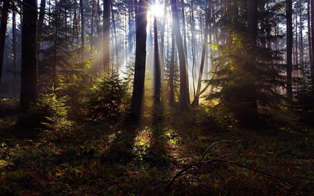 RAYS of LIGHT - leaves, spruce, light, trees, pine, grass, sun rays, forest