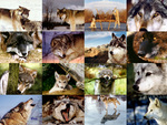 A Lot Of Wolves!!!!