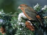 Bird in pine tree