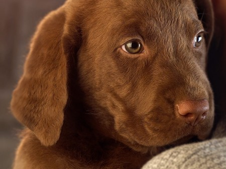 chocolate labrador - dog, animals, puppy, labrador