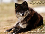 Apollo The Black Wolf