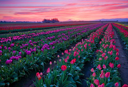 Tulips forever - purple, sunset, pink, pink sky, red, rows, tulips