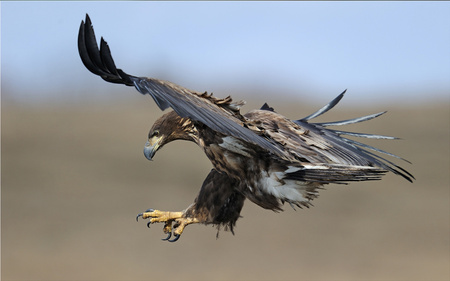 Flight of the Eagle - attacking, animals, eagle, beautiful, magnificent, birds