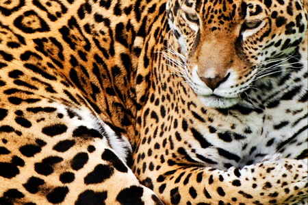 Leopard - face, leopard, feline, animals