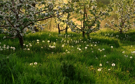 SPRING BLOSSOMS - flowers, spring, trees, field, grass