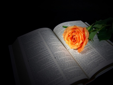 Peach rose on bible photography abstract background - Peach rose wallpaper ...
