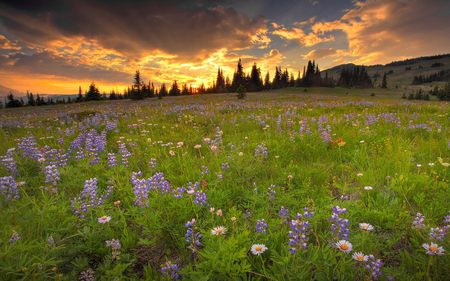 Field of Flowers - flowers, spring, summer, beautiful, field, purple, flower, clouds, sunset, nature