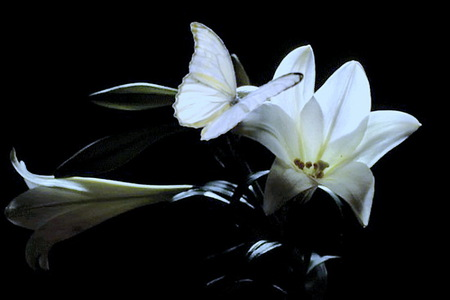 Pure beauty - butterfly, petals, white, lily, black background
