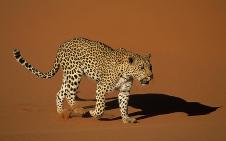 Leopard - leopard, feline, wildlife, cat, animal