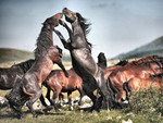 Wild Stallions Fighting - Horses F1