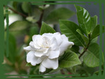 Another Small Gardenia F1