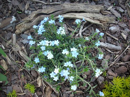 Flori de Nu ma uita - forget me not, beautiful, flori, nature, garden flowers