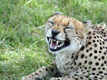 cheeta told  joke