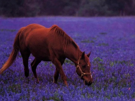 Horse in purple flower field - Horses & Animals Background ...
