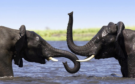 Elephants in river - nature, elephant, animal, river