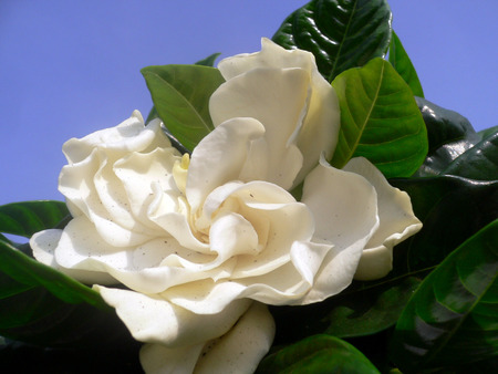 gardenia - green, gardenia, flower, white