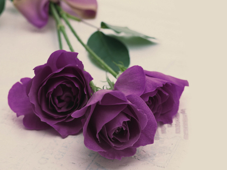 Purple roses - petal, rose, flower, purple, nature, pretty