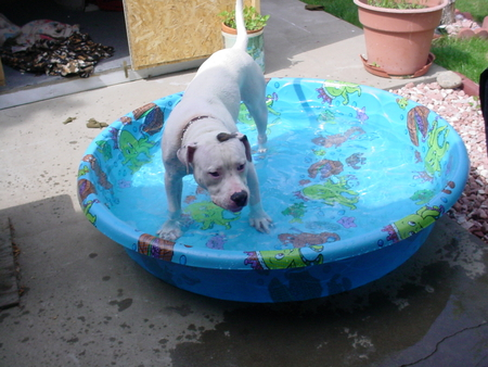 Cooling off in the pool. - american bulldog, angus, summertime, pool