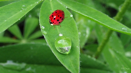 Dew in the Early Morning - leaves, green, dew drops, morning, lady bug, spring, ladybug, firefox persona