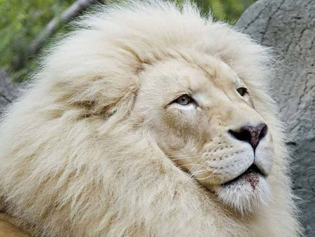 Majestic White Lion - animals, king, lion, cats, cat, majestic, animal