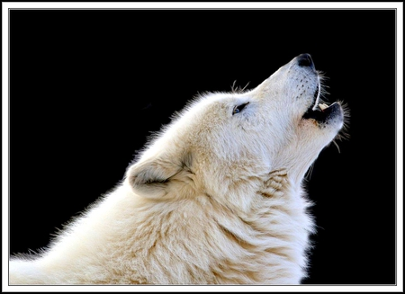 Related Keywords & Suggestions for howling arctic wolf