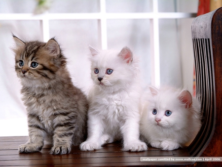 sweet kittens - cute, kittens, sweet, pets