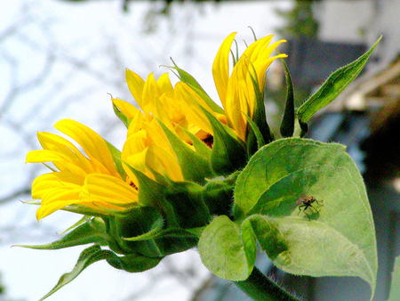 Good thoughts ;) - flowers, thoughts, sunflower, sunshine, wonderful, nature, forever, yellow