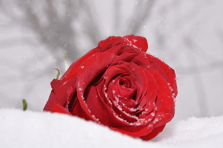 Winter rose flowers nature background wallpapers on - Rose in snow wallpaper ...