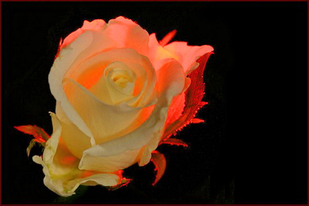 Red glow - red light, rose, flower, glow, white, black background