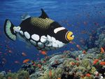 Clown_Triggerfish