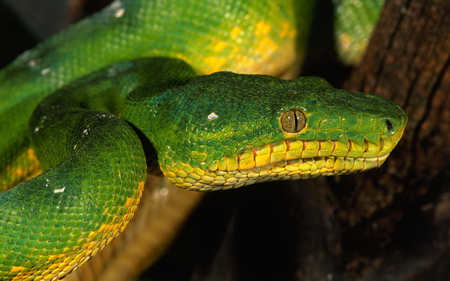 Snake - snake, animals, reptiles, beautiful