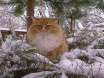 cat on a pine tree in winter