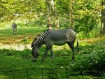 Awesome Zebras