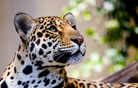 Leopard - face, leopard, animals, other