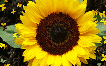 Bold Sunflower - leaves, flower, petals, sunflower, nature, seeds, yellow, large