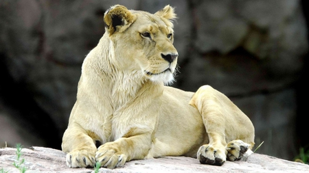 White lion - africa, lion, wildlife, animal