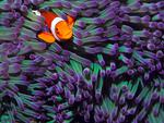 Clown Fish Live in the Pacific Ocean and Indian Ocean